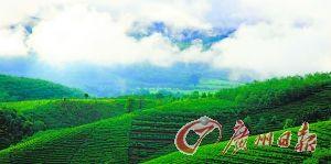 雲南景邁山古茶樹區氣候宜人。