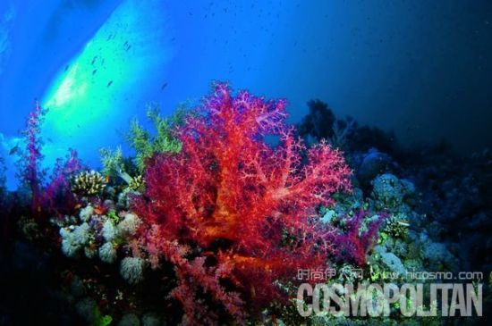 太平洋的鮮血Aka紅珊瑚