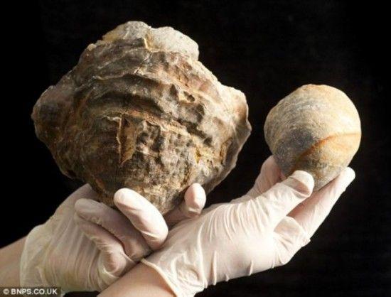 生长过度:这张照片展示了这个侏罗纪时期的庞然大物紧挨着一个普通牡蛎。这个史前软体动物有1亿多年历史。