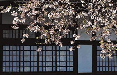 ■ 《屋前樱花》 建筑与树枝的线形构成简洁画面 兰翔 摄