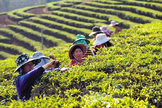 许悦:普洱茶第二轮爆炒风潮今年将现拐点