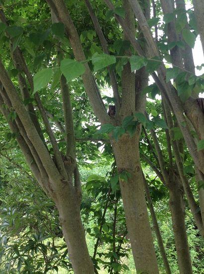 宣纸的主要原材料青檀树