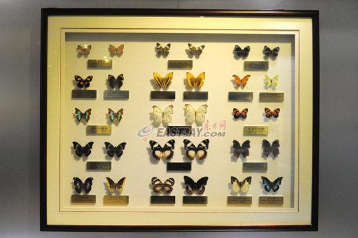 上海昆虫博物馆蝴蝶展品