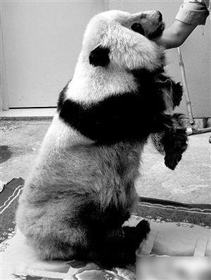 警方查获的熊猫标本