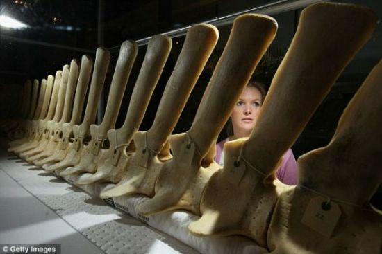 这头瓶状鼻海洋哺乳动物的骨架将在英国赫特福德郡特灵自然历史博物馆进行展览。