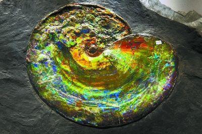 產自加拿大的彩斑菊石。彩斑菊石一般約有八千萬年到一億年以上,因表面光澤間的層距繞射效應,令其呈現獨特類似歐珀石的變彩。彩斑菊石的主要成分為方解石。